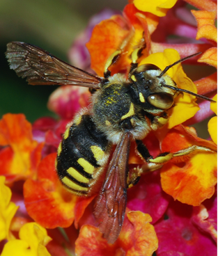 Bee_Pollinator